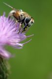 Bee. At work on thistle Royalty Free Stock Images