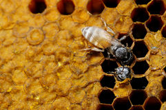 Bee. A picture of beehive ,Bees that are out of the nest Royalty Free Stock Images