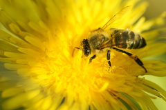 Bee. Royalty Free Stock Photography