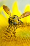 Bee. One in the yellow bees take nectar Royalty Free Stock Photos