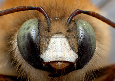 Bee. Portrait shot of a bee Stock Images