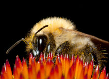 Bee. Or bumble sits on flower Stock Photos