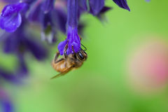 Bee. Is finding food in a purple flower Royalty Free Stock Images