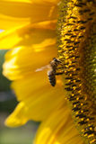 Bee. The bee working on the big yellow sunflower Royalty Free Stock Photos