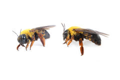 Bee. Two bee on a white background Stock Image