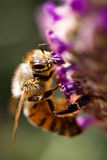 Bee. An Australian honey bee gathers pollen to take back to its hive Stock Images