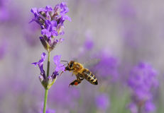 Bee. A Bee on Lavender Flower Stock Image