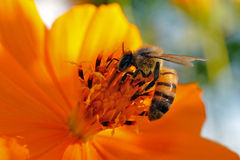 Bee. A bee in a flower Stock Photos