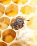 Bee. A birth of a bee, macro Stock Photos