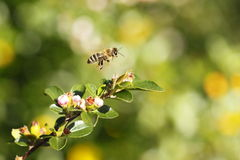 Bee. The bee flying over natural plants at sunshine Royalty Free Stock Photo