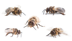 Bee Stock Photography