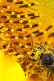 Bee. Feeding pollen on sunflower Royalty Free Stock Image