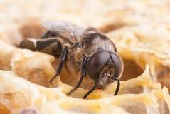 Bee. A bee on a honeycell, macro Royalty Free Stock Photos