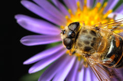 Bee. Top view of bee resting on a flower Royalty Free Stock Photo