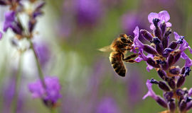 Bee. On a lavender flower in the summer UK Royalty Free Stock Photography