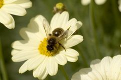 Bee. Collecting pollen on cream flower Stock Image