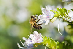 Bee. Close up with white flowers Stock Image