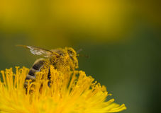 Bee Royalty Free Stock Images