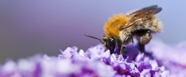 Bee. On purple flower with blur background Stock Image