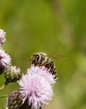 Bee. A bee on head of a thistle. Busy as a bee Stock Image