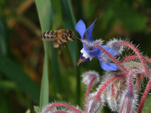 Bee. In flight Stock Photography