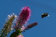 Bee. In flight Stock Photos
