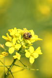Bee. Honey bee on the flower Stock Images