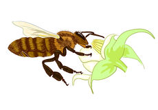 Bee. Illustration on white background Royalty Free Stock Images