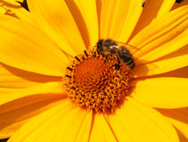 Bee. Honeybee crawling in a yellow flower stock photography