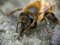 Bee. Royalty Free Stock Image