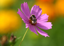 Bee. Royalty Free Stock Photos