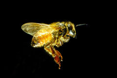 Bee. Close-up shot of  Flying bee with black background Stock Photography