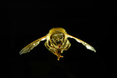 Bee. Close-up shot of  Flying bee with black background Royalty Free Stock Images