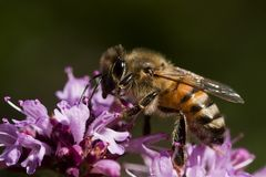 Bee. A bee pollinating a purple flower Royalty Free Stock Photography