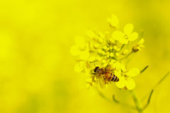 Bee. The world of Canola flower stock photos
