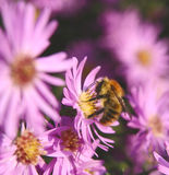 Bee. On purple daisy shallow depth of field Royalty Free Stock Photos