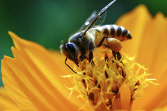 BEE. A worker bee on a flower collecting pollen royalty free stock photos