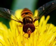 Bee. Little be on dandelion flower stock image