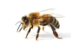 Bee Stock Photos