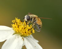 Free Bee Royalty Free Stock Image - 48341446