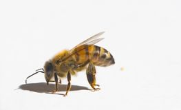 Bee. A isolated worker bee on a white background Royalty Free Stock Image