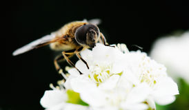 Bee. Cute bee on white flowers Royalty Free Stock Photos
