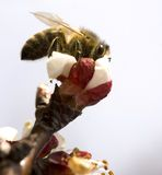 The Bee. Bee on an apricot flower stock photo