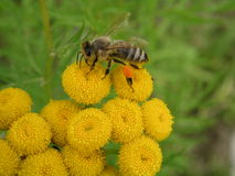 Bee. On yellow flowers royalty free stock image