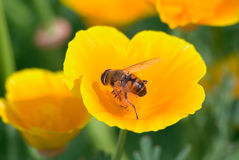 Bee. The bee collects nectar on a yellow flower Stock Images