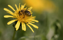 The bee. Busy bee during its work Royalty Free Stock Image
