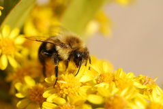 Bee. Pollinating yellow flower macro shot Royalty Free Stock Photo