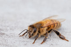 Bee. A bee macro picture wings and head detail Stock Photography