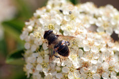 Bee. On a flower Royalty Free Stock Image