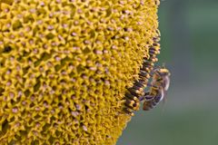 Bee. The bee on the sunflower Stock Photography